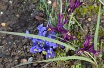 Iris 'Harmony and iris 'George'