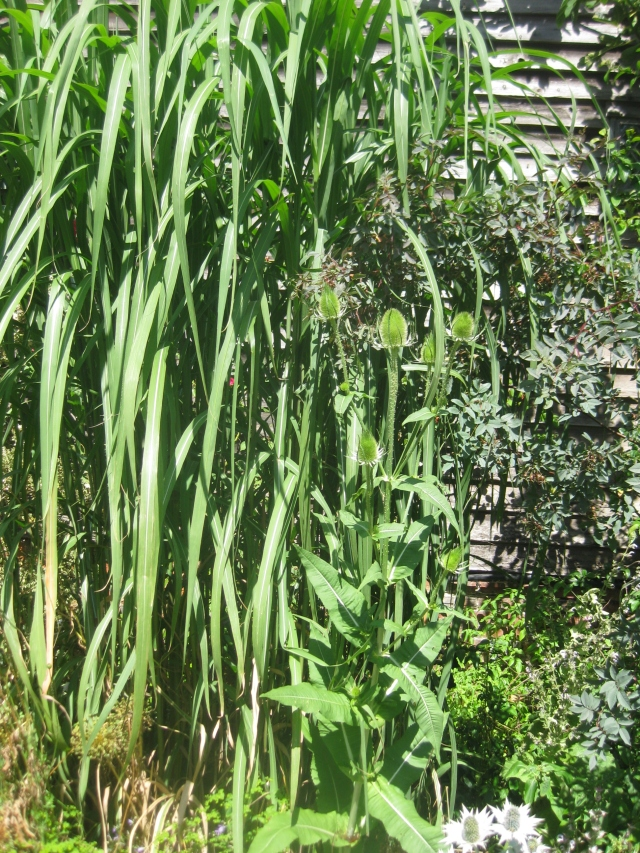 Miscanthus with self- sown teasel and Rosa rubrifolia