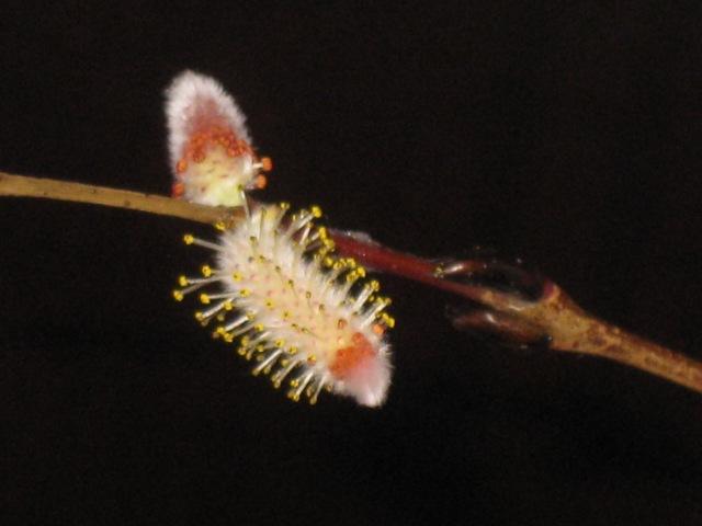 Salix purpurea ''Nancy Saunders'