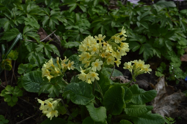 Primula 'Lady Greer'