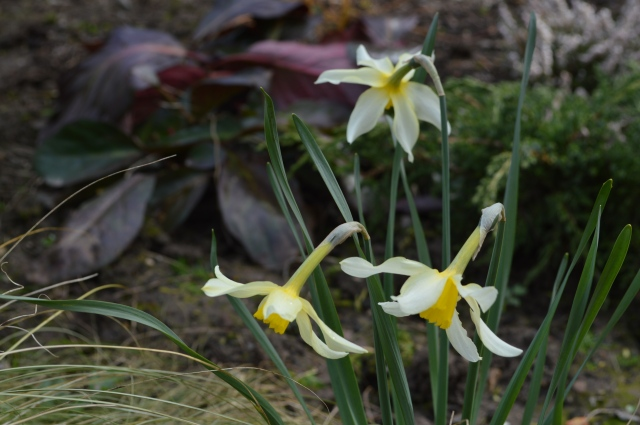 Narcissus 'Mrs'Langtry'