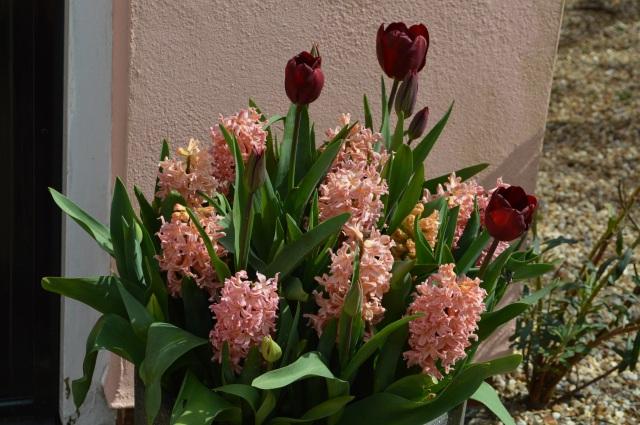 Hyacinth 'Gypsy Queen' Tulip 'Jan reus'