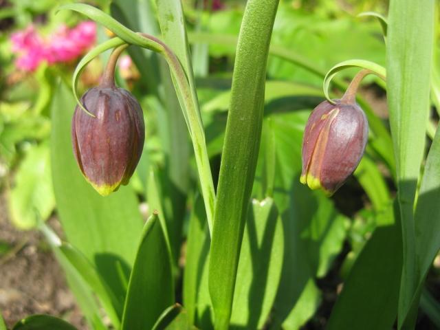 Fritiallaria uva-vulpis