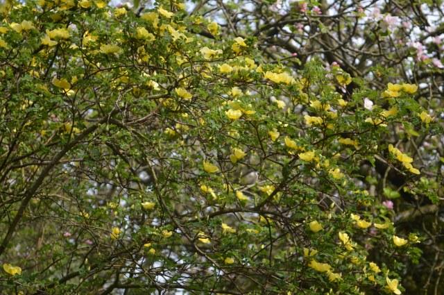 Rosa xanthina 'Canary Bird'