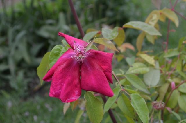 Rosa odorata 'Bengal Beauty'