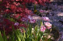 Tulip 'Carnival de Nice'