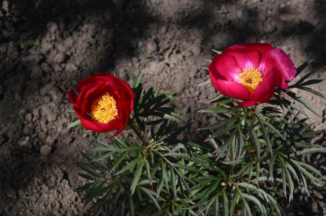 Paeonia smouthii