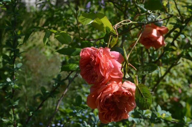 Rose 'Summer Song'