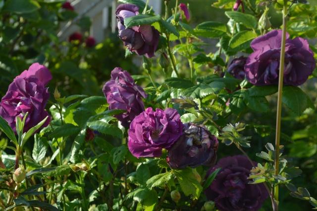 Rosa 'Rhaaaaapsody in Blu'