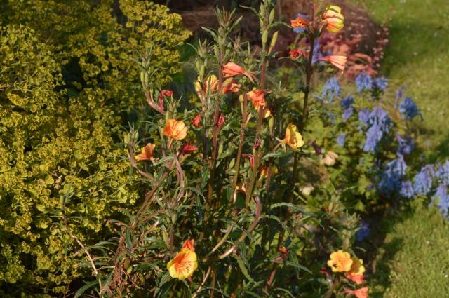 Oenothera versicolor 'Sunset Boulevard'