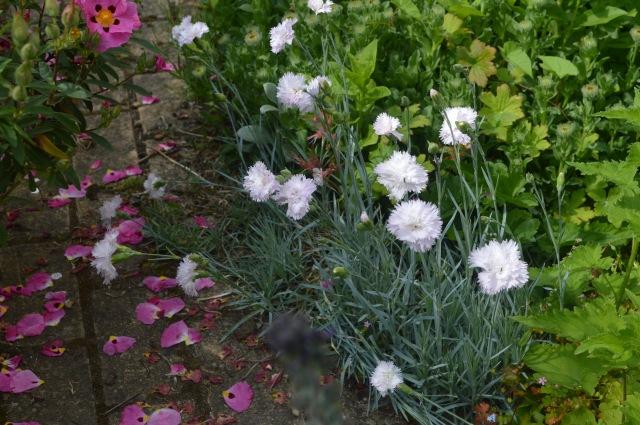 Dianthus 'Haytor'