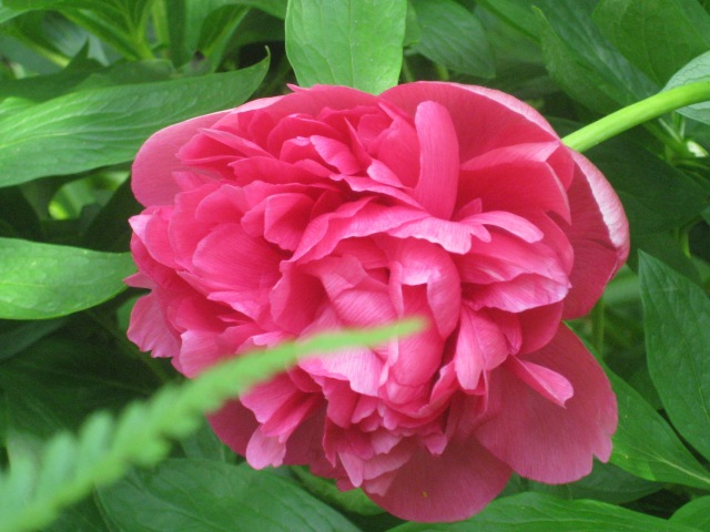 Peonia officionalis 'Rubra plean'