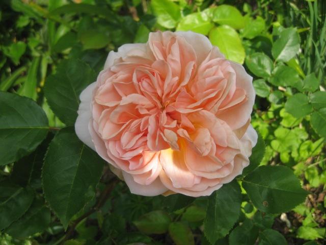 Rosa 'Evelyn'