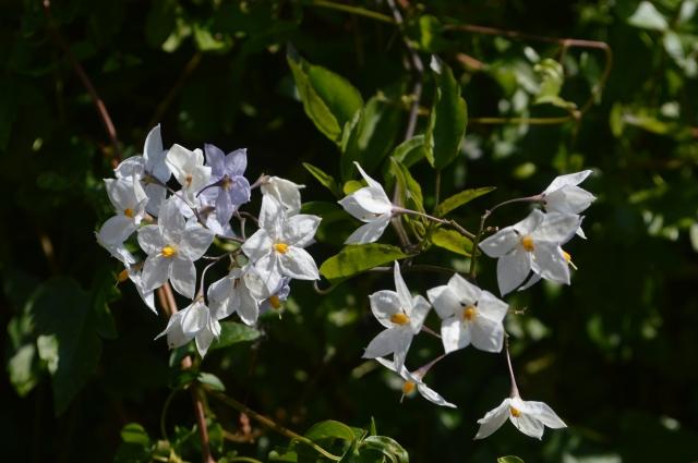 Solanum laxum'Creche ar Pape'