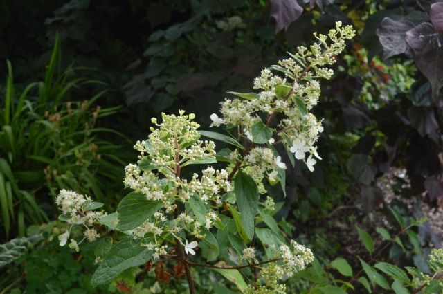 Hydrangea paniculata 'Pinky Winky ' Imposter.