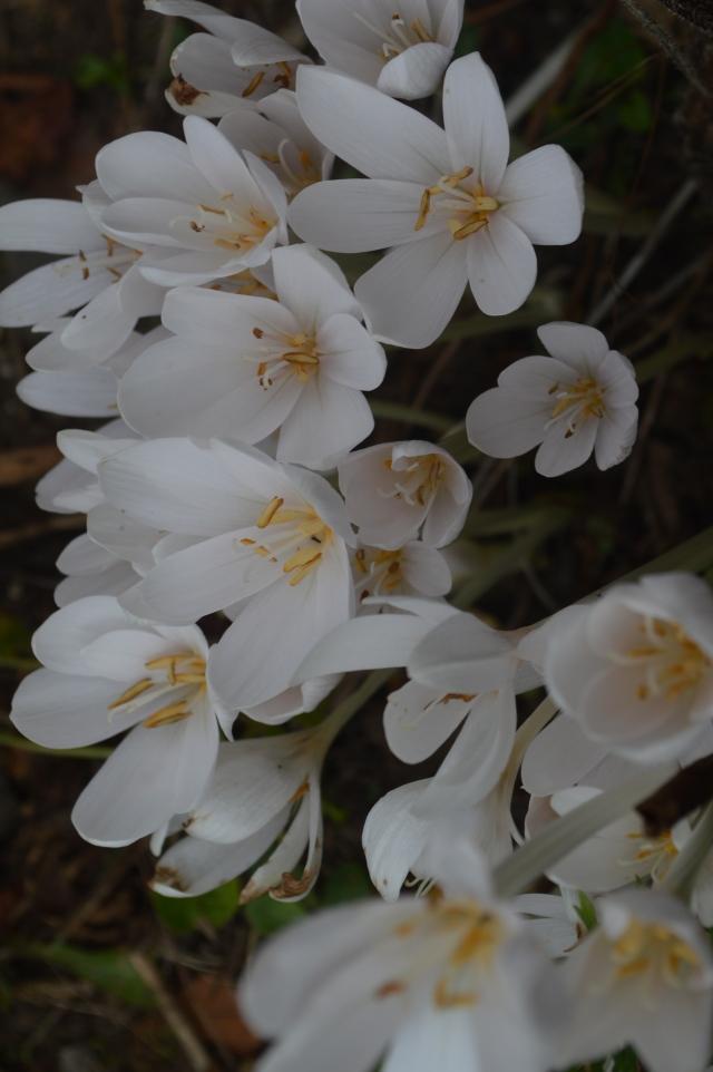 Colchicum autumnale 'Album'