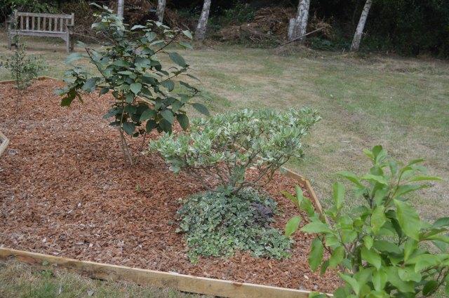 Pittospermum tobira 'Vareigata'