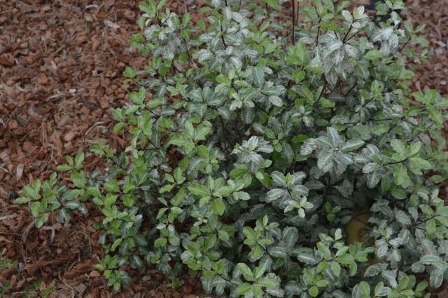 Pittospermum tenuifolium 'irene Paterson'
