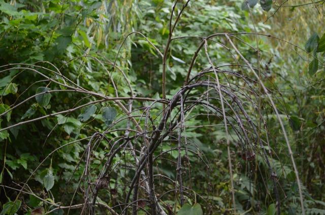 Cerdicphyllum japonicum 'Pendula'