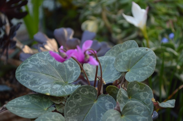Cyclamen purparescens
