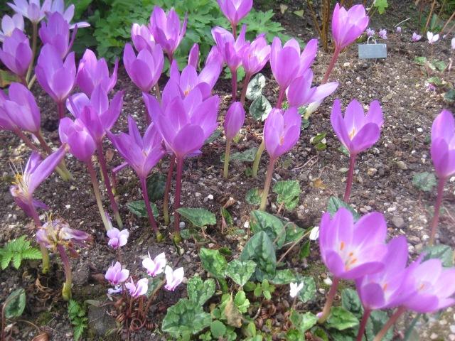 Colchicum speciosum 'Atrorubens'
