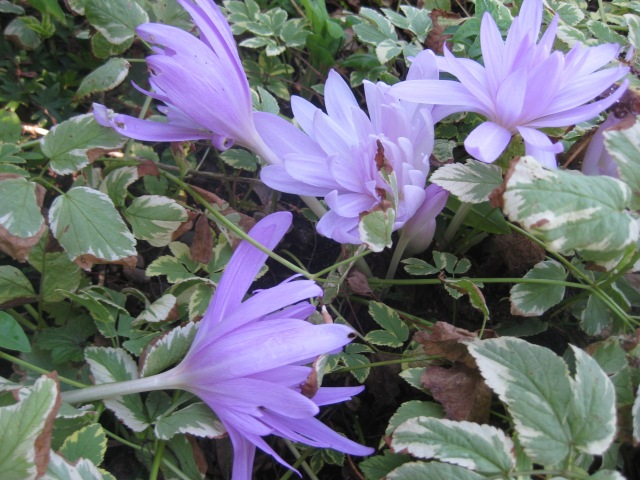 Colchicum 'Water Lily' with Aegopodium podagraria 'Variegata'