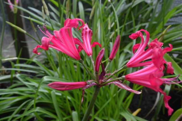 Nerine 'Mr. John'