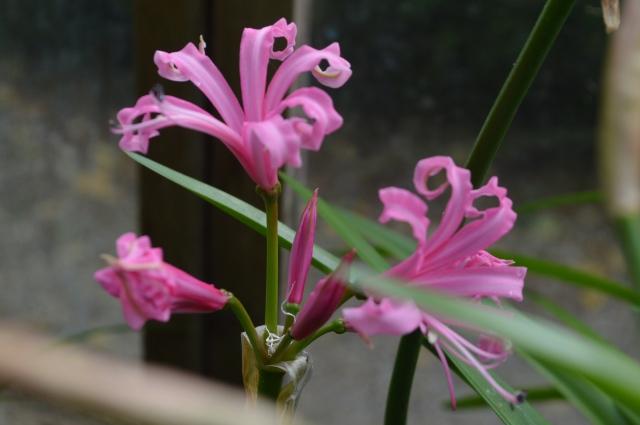 Nerine 'Pink Triumph'
