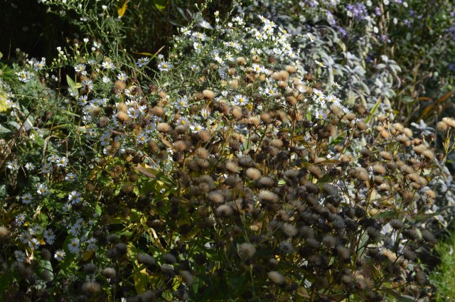 Aster frikartii 'Monch seedheads with Aster 'Monte Cassino'