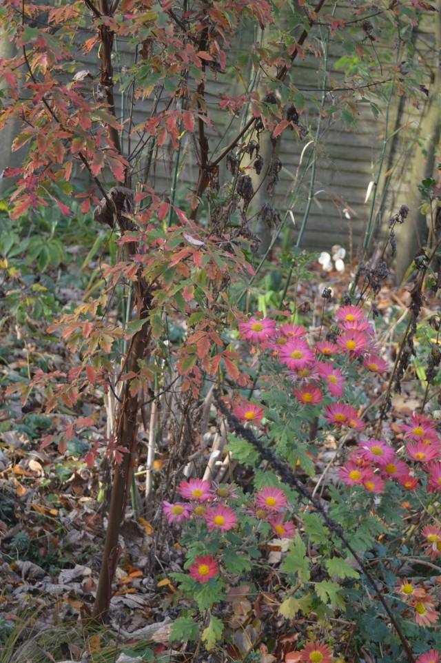 Acer griseum Chrysanthemum 'Belle'