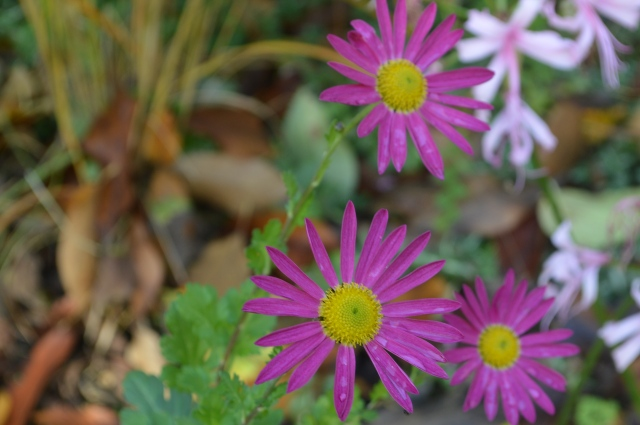 Chrysanthemum 'Mrs. Jessie Cooper'