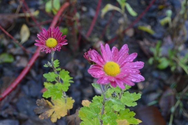 Chrysanthemum 'Suffolk Pink'