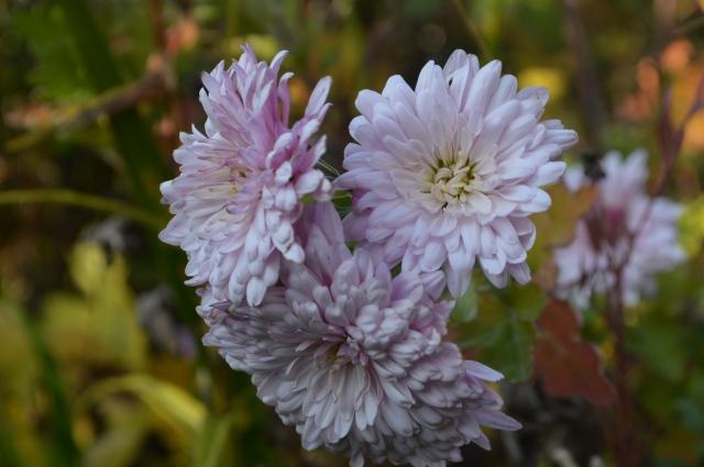 Chrysanthemum 'The Emperor of China'