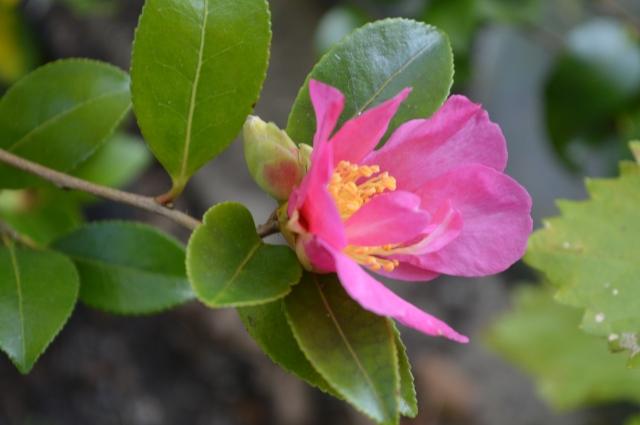 Camellia sasanqua