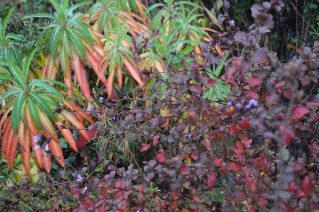 Ceratostigma willmottianum with Euphorbia mellifera