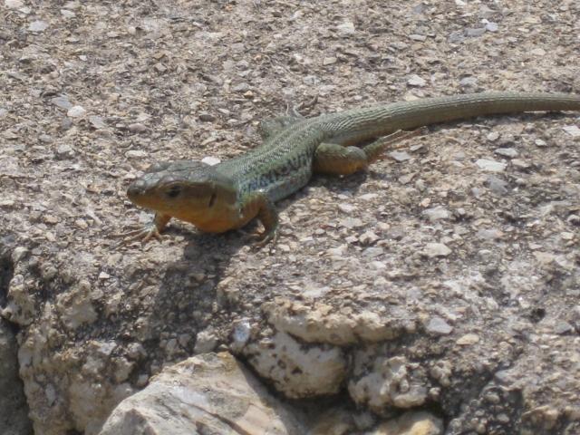 Peloponnese Wall Lizard.