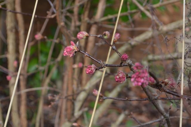 Viburnum bodnantense ''Dawn'