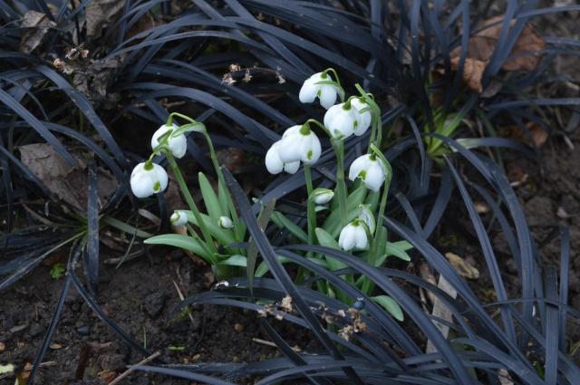 Galanthus 'Washfield Titania'