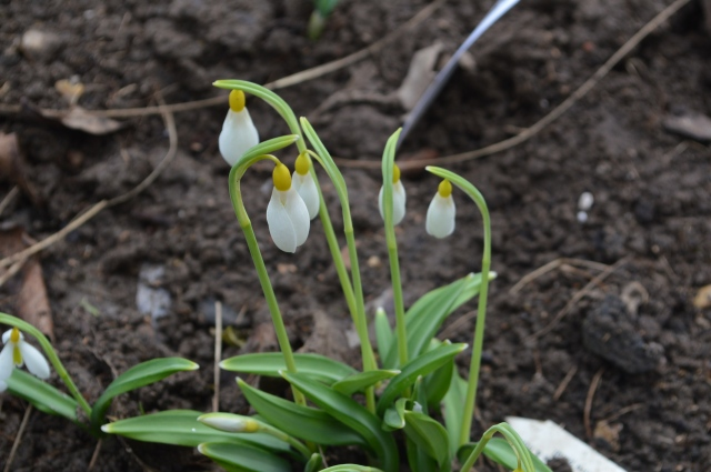 Galanthus 'Spindlestone Surprise'