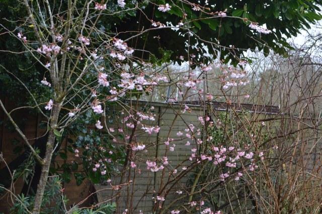 Prunus autumnalis subhirtella 'Rosea' with Viburnum bodnantense