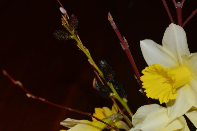 Salix gracilysta 'Melanostachys'