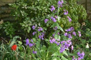 Lunnaria 'Corfu Blue'