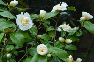 Camellia 'Jury's Gold'
