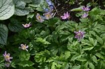 Anemone nemorosa 'Wyatt's Pink'