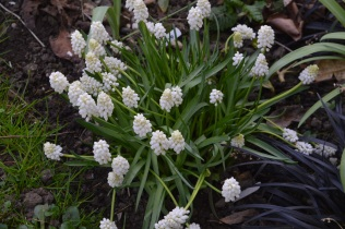 Muscari 'White magic'