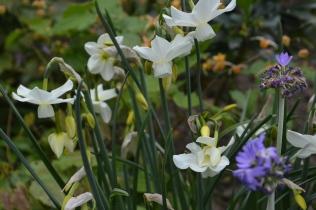 Narcissus 'Petrel'