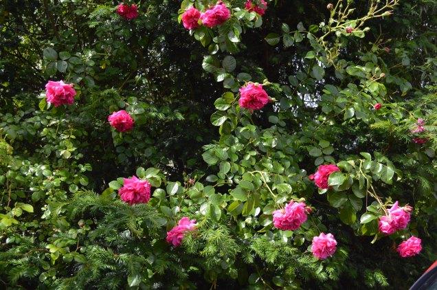 Rosa 'Karlsruhe'