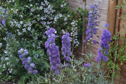 Delphinium 'Highlander Blueberyy Pie'