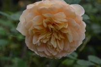 Rosa'Grace'