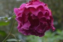 Rosa 'Princess Alexandre of Kent'